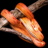 Corn snake — Stock Photo