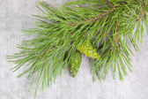 Christmas tree branches with green pine cones — Stock Photo