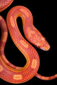 Amel motley corn snake isolated on black background — Stock Photo