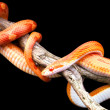 Corn snake — Stock Photo #35351237
