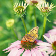 Butterfly sitting on pink echinacea flower in the rays of the s — Stock Photo #49337621
