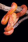 Corn snake wrapped around an old branch — Foto de Stock