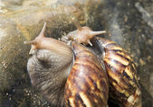 Group of snails on the rock — Stock Photo