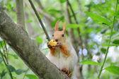 Ardilla comiendo en árbol en el parque — Foto de Stock