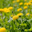 Yellow dandelions in summer — Stock fotografie #21947259