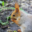 Eating squirrel on tree in park — Foto Stock