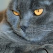 Cat's portrait with yellow eyes  — Stock Photo