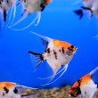 Aquarium fish — Stock Photo #37277733