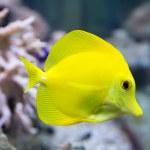 Постер, плакат: Zebrasoma yellow tang fish