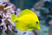 Zebrasoma yellow tang fish — Стоковое фото