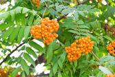 Rowanberry branch — Stock Photo