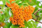 Rowanberry branch — Stock Photo