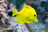 Zebrasoma yellow tang fish — Stock Photo