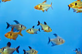 Aquarium fish — Stock Photo