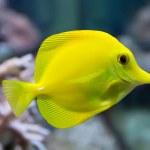 ������, ������: Zebrasoma yellow tang fish