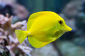 Zebrasoma yellow tang fish — Stock Photo