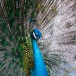 Nice peacock with feathers out, shallow dof - Stock Photo