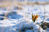 Yellow snowdrop in high mountain valley — Stock Photo