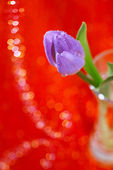 Tulip Spring flower in glass — Photo