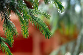 Coniferous tree branch with water drops. — Stock Photo