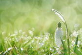 Sparkly snowdrop flower soft focus, perfect for postcard — Stock Photo
