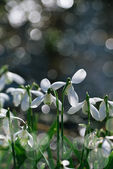 Sparkly snowdrop flower — Stock Photo