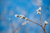Pussy willow branches — Stock Photo