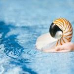 Nautilus seashell in child hands — Stock Photo #44960461