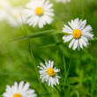 White daisies in meadows, close-up shot — Zdjęcie stockowe