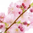 Stock Photo: Pink cherry blossom (sakurflowers), isolated on white