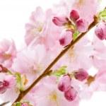 Pink cherry blossom (sakura flowers), isolated on white — Stock Photo