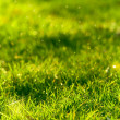 Green grass lawn closeup — Stock Photo