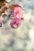 Blossoming sakura with pink flowers, closeup shot — Stock Photo