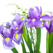 Beautiful purple iris flowers, isolated on white background — Stockfoto