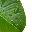 Green leaf with water droplets isolate on white — Stock Photo