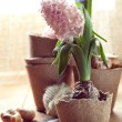 Hyacinth flowers in compostable pots, flower bulbs and gardening — Stock Photo #44225205