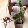Hyacinth flowers in compostable pots, flower bulbs and gardening — Stock Photo #44225207