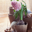 Hyacinth flowers in peat pots, flower bulbs and gardening tools — Stock Photo #44616265