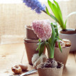 Hyacinth flowers in peat pots, flower bulbs and gardening tools — Stock Photo #44616269