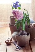 Hyazinthen blumen in torf-töpfe, blumenzwiebeln und gartengeräten — Stockfoto