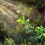 Green oak tree leaves under sun rays in deep wood — Foto Stock