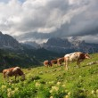 Stock Photo: Bulls on meadow, Dolomites