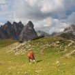 Stock Photo: Cow on meadow, Dolomites