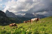 公牛队在草甸、 白云岩 — 图库照片