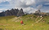 Cow on meadow, Dolomites — Stock Photo