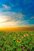 上一个美丽的黄昏向日葵 — 图库照片