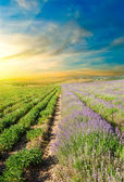 Lavender fields at sunset — Stock Photo