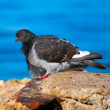 Stock Photo: Urbpigeon sitting on rock on sebackground