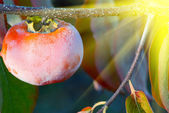Rime on a branch of a ripe persimmon and bright rays of the sun — Stock Photo