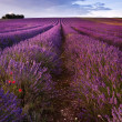 Beautiful lavender field landscape with dramatic sky - Stock fotografie